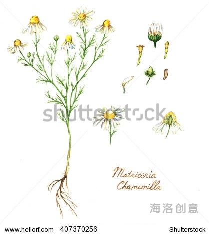 手绘水彩植物插图的洋甘菊植物,花,叶子和根.洋甘菊孤立在白色背景.