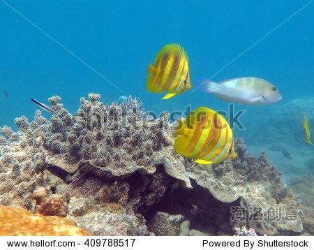 蝴蝶鱼,圣诞岛,珊瑚海,昆士兰,澳大利亚