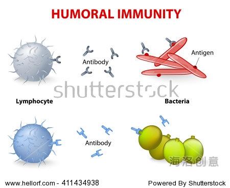体液免疫 淋巴细胞 抗体和抗原 矢量图 教育,医疗保健 站酷海洛创