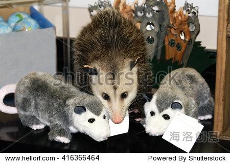 可爱的宠物负鼠在两个玩具填充袋貂.-动物/野生生物