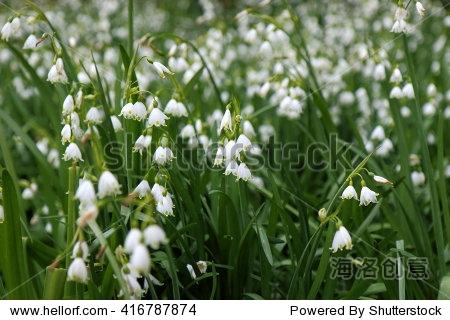 美丽的白色雪花莲或雪花属/雪花莲 - 动物/野生生物