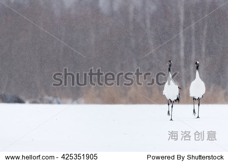 红顶鹤(天鹤座japonensis)——镜像的脚