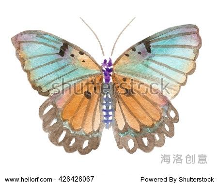 手画水彩插图的爱德华兹forester蝴蝶