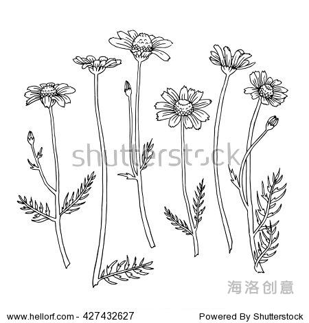 洋甘菊植物插图.涂鸦画轮廓.白色背景黑色线条.草药收集着色.