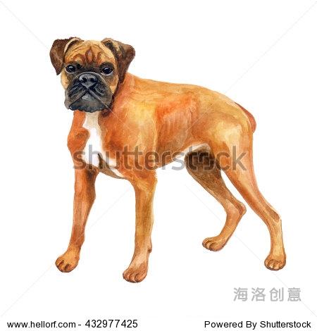 水彩特写肖像德国拳师犬,德国拳击手繁殖狗孤立在白色