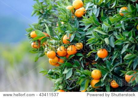 橘子树与水果种植园