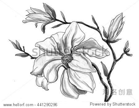 白色的玉兰花盛开孤立在白色背景