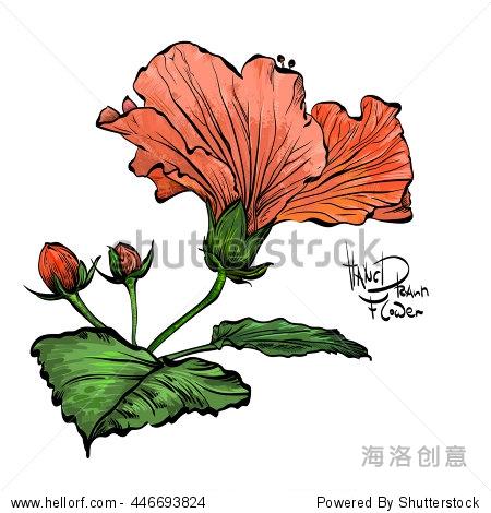 手绘彩色的芙蓉花.装饰色自然花白色背景.红色的花用黑色装饰中风.