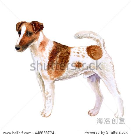 水彩特写肖像的可爱的狐狸犬顺利繁殖狗孤立在白色背景.