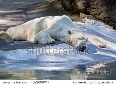 睡觉北极熊与巨大的爪子.-公园/户外,动物/野生生物