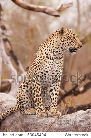 leopard白皮书34_leopard (panthera pardus) sitting alert on the tree in nature