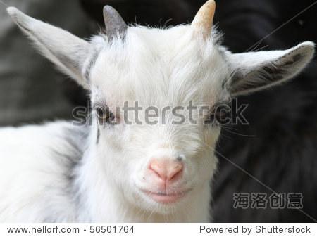 可爱的白色小山羊的画像一个粉红色的鼻子