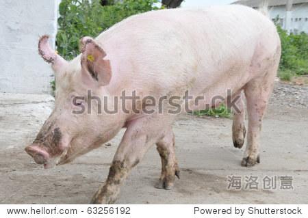 男猪的品种大白行走 - 动物/野生生物,交通运输 - ,,.