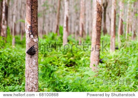 利用从橡胶树胶乳.普吉岛,泰国