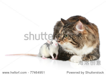 毛茸茸的白色背景的混血猫捉老鼠