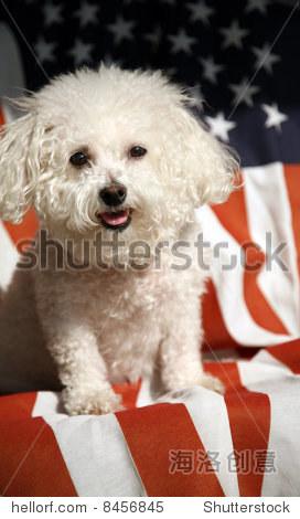 卷毛比雄犬狗微笑在美国国旗-动物/野生生物,符号