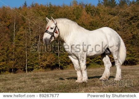 佩尔什马马在秋天的风景-动物/野生生物