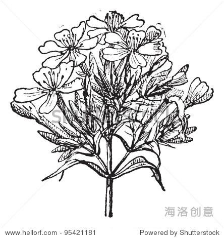 雕刻的普通肥皂草,白肥皂草,威廉打赌或甜或肥皂草,孤立在白色的背景.