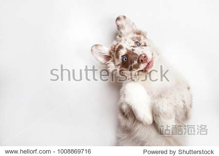Funny studio portrait of the smilling puppy dog Australian Shepherd lying on the white background  giving a paw and begging