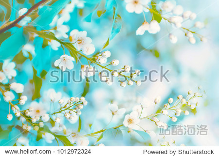 Floral spring background  soft focus. Branches of blossoming bird-cherry (Prunus padus) in spring outdoors macro in vintage turquoise pastel colors. Delicate elegant airy artistic image of spring