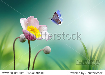 Beautiful pink flower anemones fresh spring morning on nature and fluttering butterfly on soft green background  macro. Spring template  elegant amazing artistic image  free space.
