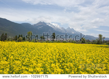 Rapeseed field in Baisha Old Town with Jade dragon snow mountain background, Lijiang China