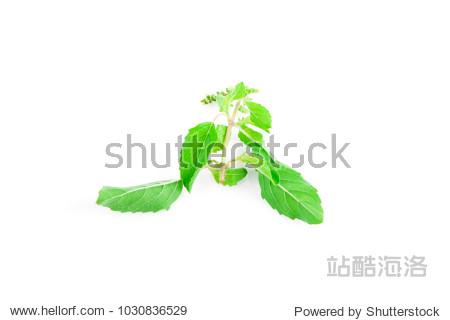 Holy basils isolated on white background