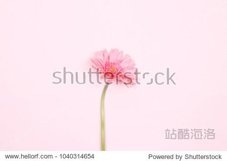 Pink gerbera flower on pink background. Flat lay  top view minimal festive spring flower background.
