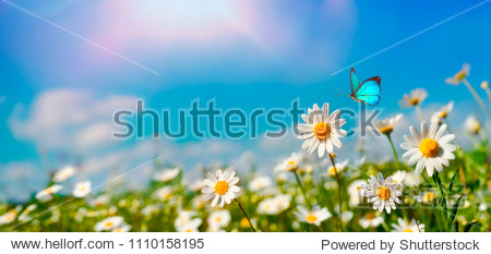 Chamomiles daisies macro in summer spring field on background blue sky with sunshine and a flying butterfly  nature panoramic view. Summer natural landscape with copy space