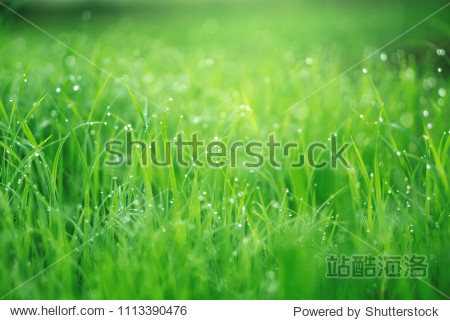 beautiful nature green grass with raindrops morning sunlight background