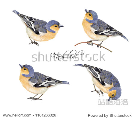 Vector realistic highly detailed illustration set of finch bird isolated on white background. Design element for wedding  christmas  knowledge day or greeting card.Can be used for scrap book  copybook