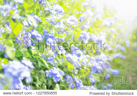 Cape Leadwort flower is very beautiful in the morning scientific name is Plumbagoauriculata flowers in the garden