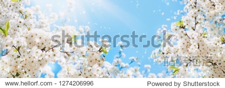 Branches of blossoming cherry macro with soft focus on gentle light blue sky background in sunlight with copy space. Beautiful floral image of spring nature panoramic view.