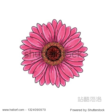 Brite pink magenta color with black and white line gerbera flower isolated. Hand-drawn contour lines and strokes. Vector flower gerbera. Element for design. Gerber Daisy sketch illustration.