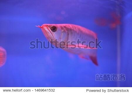 Beautiful Arowana Fish in aquarium