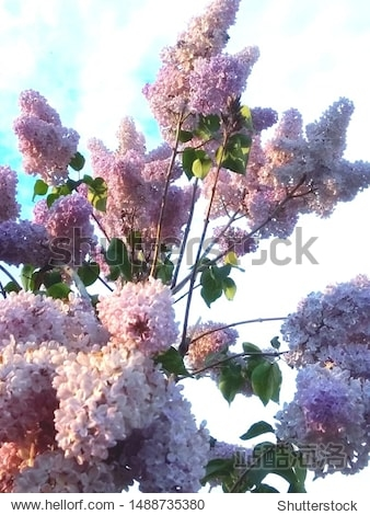 Blooming lilac on the background of the spring sky