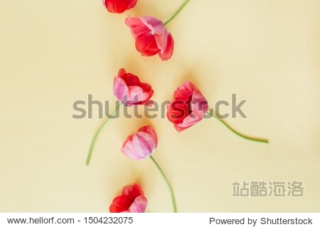 Colorful tulip flowers on pastel background. Flat lay  top view minimal summer floral pattern composition.