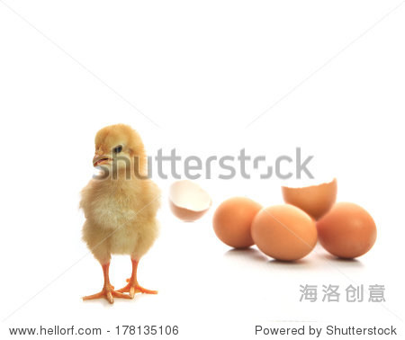 new born yellow chick broken eggshell looking to camera isolated white background use for multipurpose animals kid lovely cute