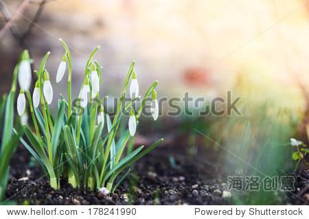first spring flowers  snowdrops in garden  sunlight