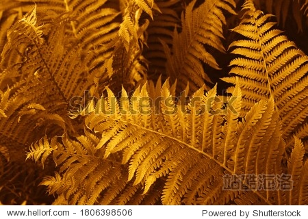 Gold colour ferns leaves green foliage natural floral fern background in sunlight. Great green bush of fern in the forest. Natural gold fern in the forest.