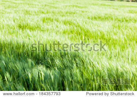 a beautiful and vibrant green crop in south italy