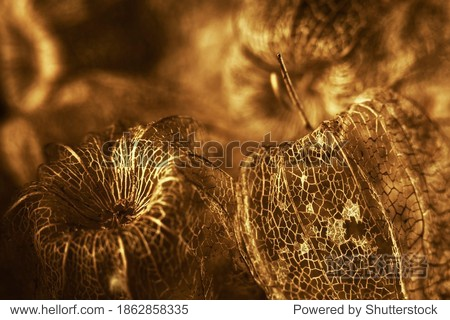 set with golgen dry physalis fruit textures (Physalis Peruviana) soft focus. lacy effect  looks like filigree handmade work. golden christmas wallpaper. yellow backdrop.fortuna gold tones background