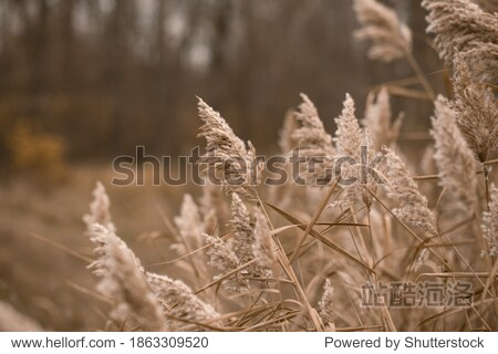 Pampas grass. Landscape nature background. Dried flowers in bright sunlight on the field. set sail champagne. Selective focus