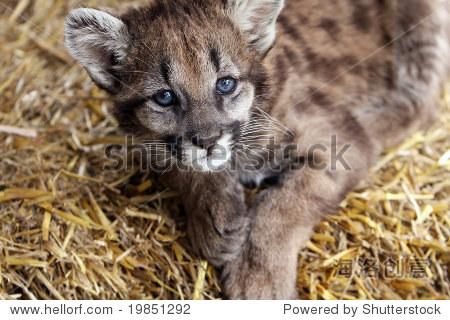 cougar a lyon