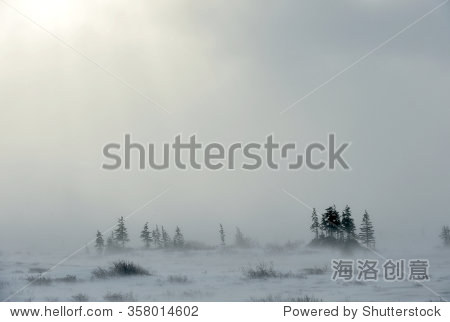 Snowstorm in tundra landscape with trees. low visibility conditions due to a snow storm in tundra foreground in Canada at winter time