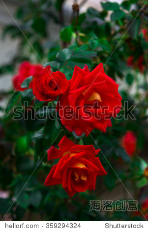 A few red roses in the garden