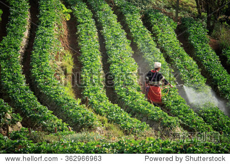 thai dara-ang hill tribe in doi angkhang chiangmai northern of thailand  working in strawberry plantation farm