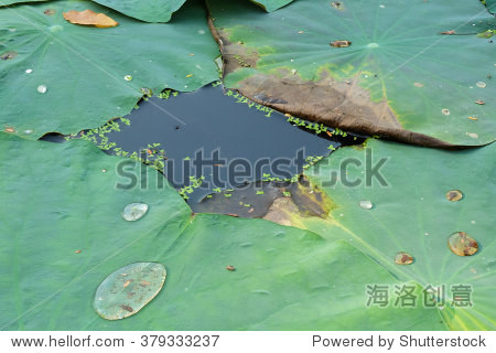 Lotus leaf floating on the water in pond - thailand
