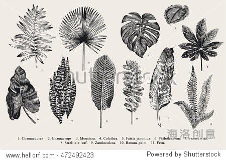 Set Leaf. Exotics. Vintage vector botanical illustration. Black and white.
