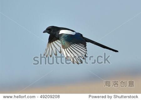 magpie in flight (pica caudata)